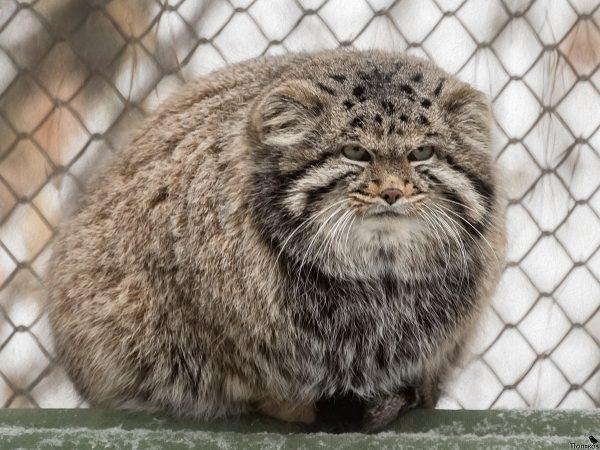 Самый пушистый кот в мире