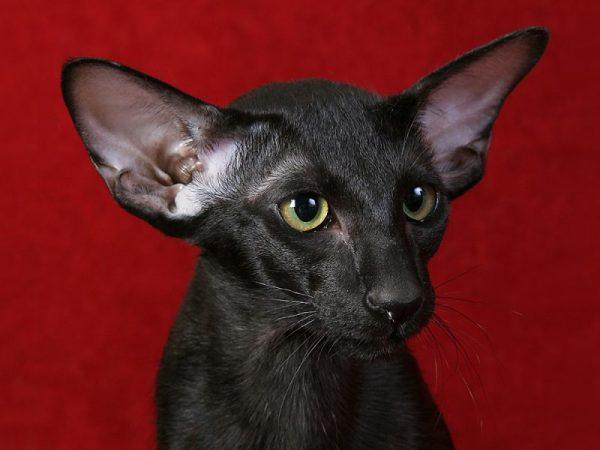 Ориентальная кошка с длинной шерстью