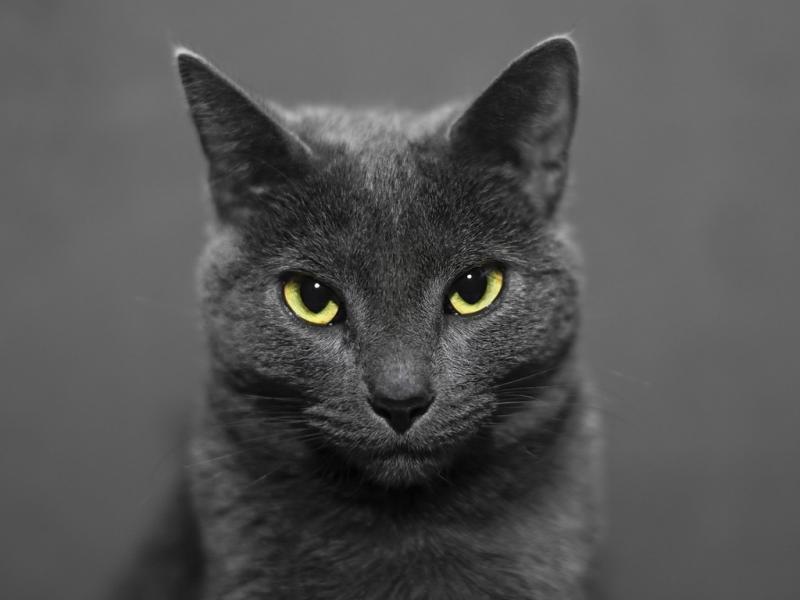 Русская голубая кошка: особенности содержания породы
