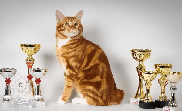 Курильский бобтейл — чемпион выставки