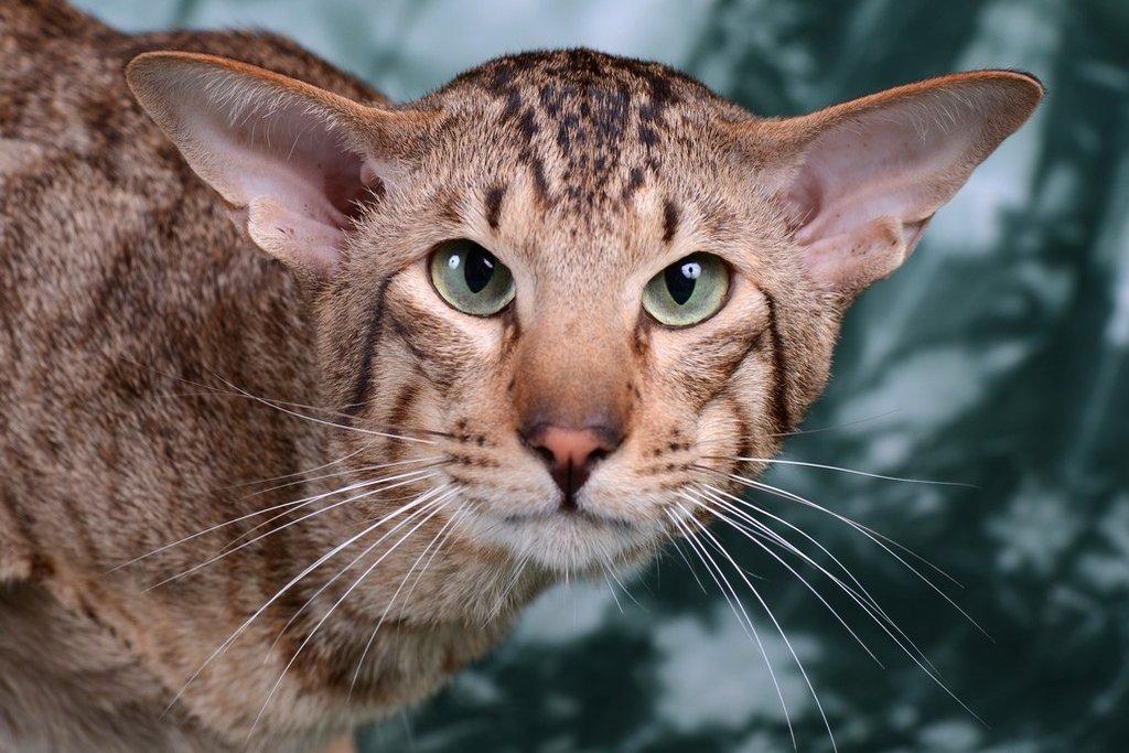 картинки пород кошек с большими ушами вход бесплатно