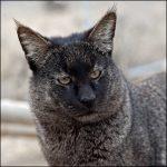 Тростниковый кот с необычным окрасом