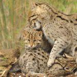 рысь с котятами
