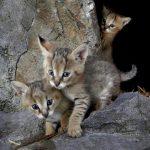 маленькие камышовые котята