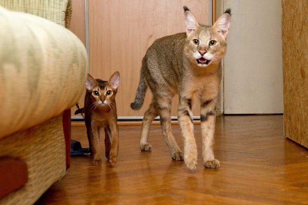 Камышовый кот и домашняя кошка