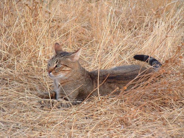 Камышовый кот отдыхает