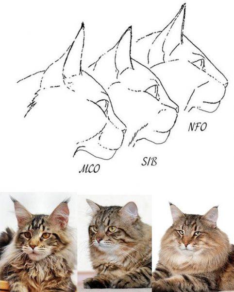 Отличие сибирской кошки от мейн-куна и норвежской лесной