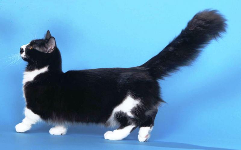 Манчкин — порода коротколапых кошек
