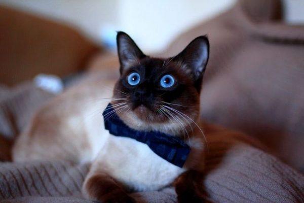 Тайская кошка с бантиком на шее