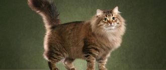 Сибирская кошка на зелёном фоне