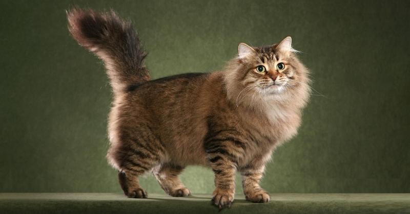 Сибирская порода кошек: гордость отечественной фелинологии