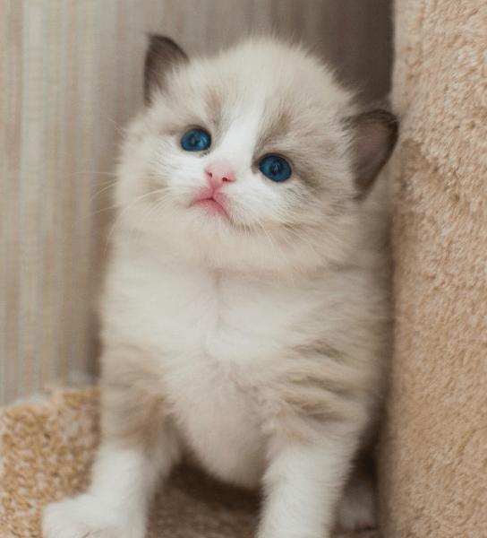 Котёнок рэгдолла