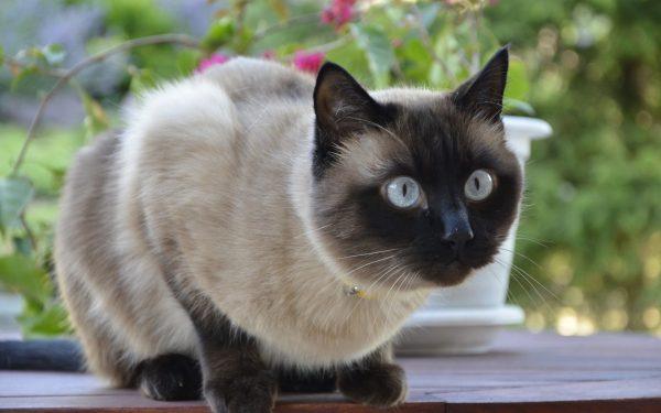 Тайская кошка в саду