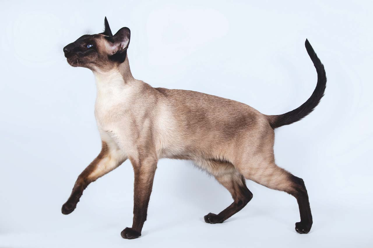 Грациозная сиамская кошка