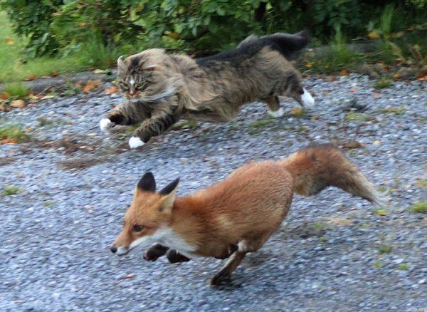 Кот гоняет лису