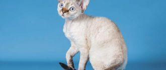 Кудрявый кот с большими ушами