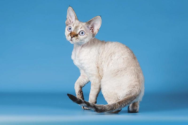 Кошки породы девон-рекс: образ персонажей фэнтези и сказок