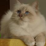 Лежащая кошка