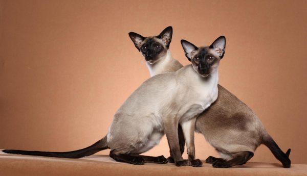 Сиамские кошки в полный рост