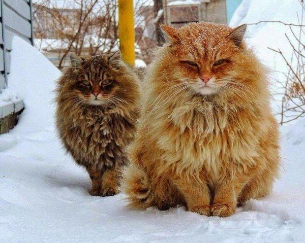 Два пушистых кота, сидящие в снегу