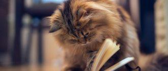 Сибирская кошка читает книгу