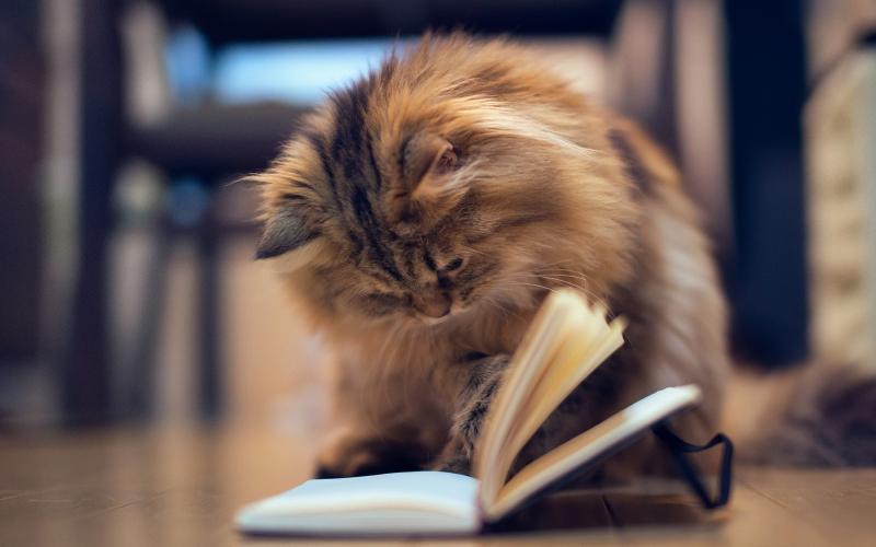 Топ-10 самых умных пород кошек
