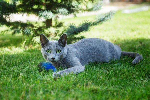 Русская голубая кошка играет с пёрышком