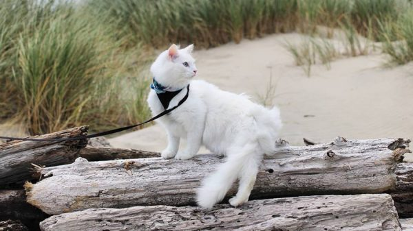 Ангорская кошка на пляже