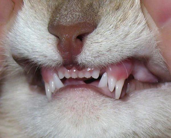 Кошачьи зубы