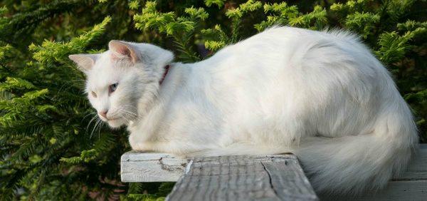 Ангорская кошка лежит на доске