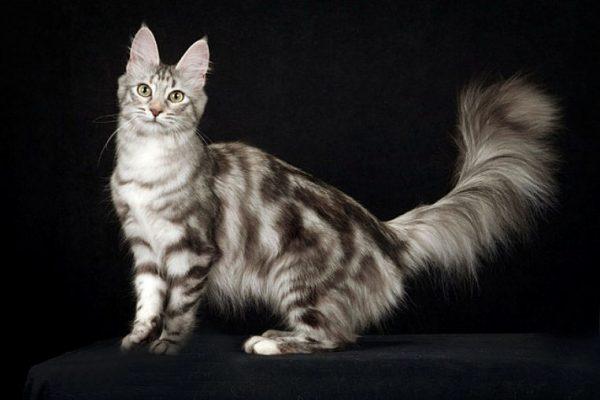 Ангорская кошка мраморного окраса
