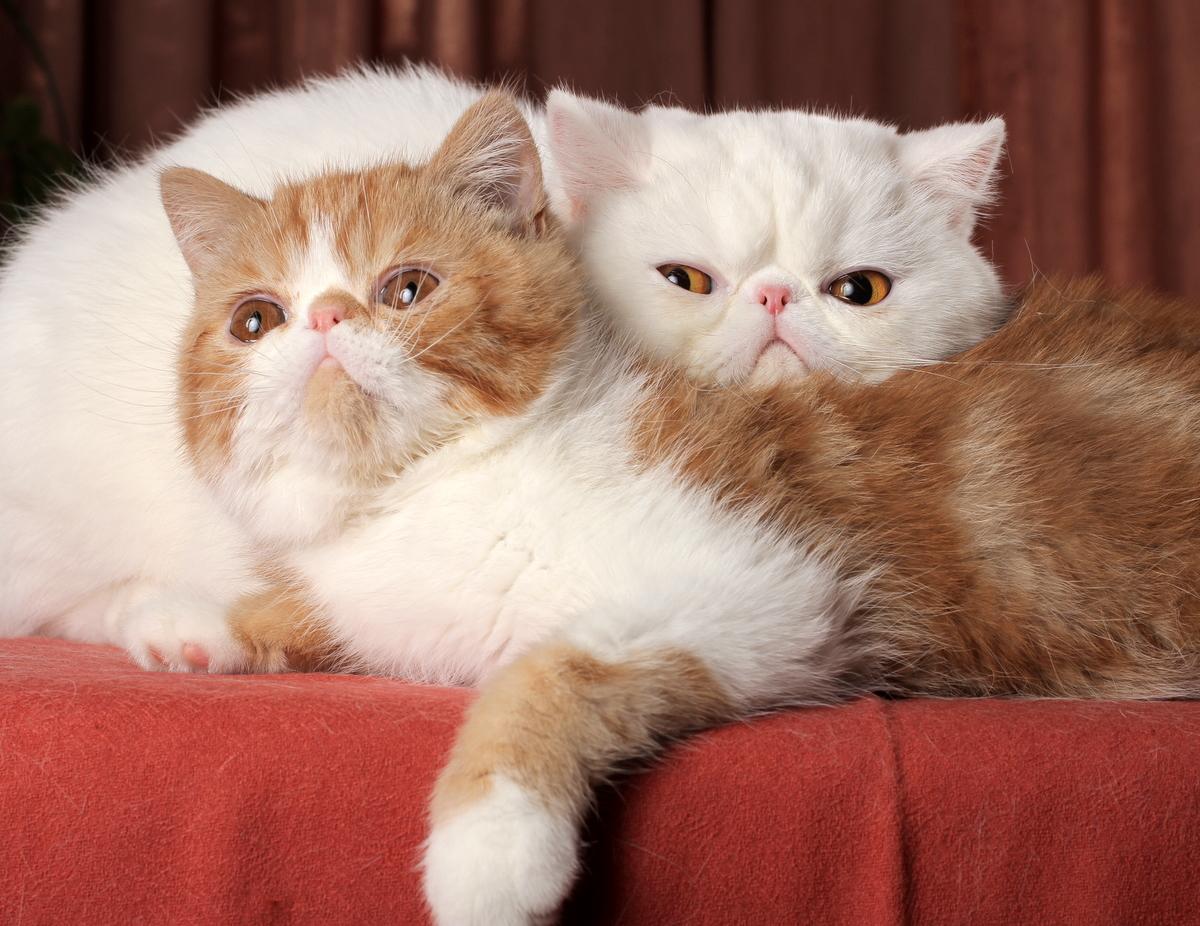 картинки котят экзота традиционно