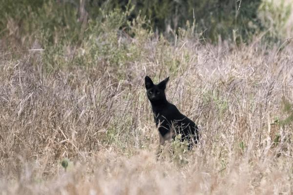 Чёрный сервал в траве