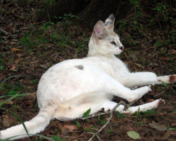 Белый сервал
