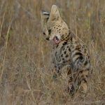 Танзанийский сервал