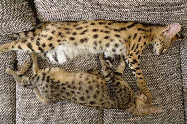 Сервал и кошка спят на диване