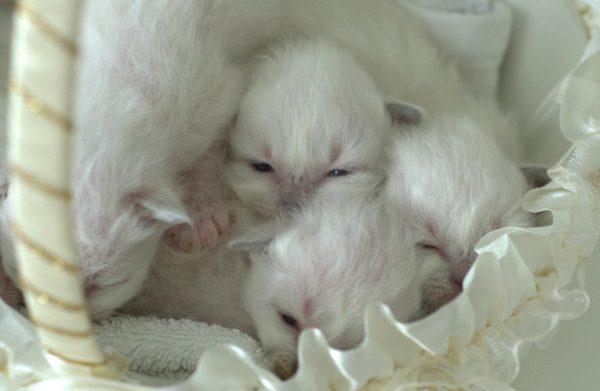 У котят открываются глазки