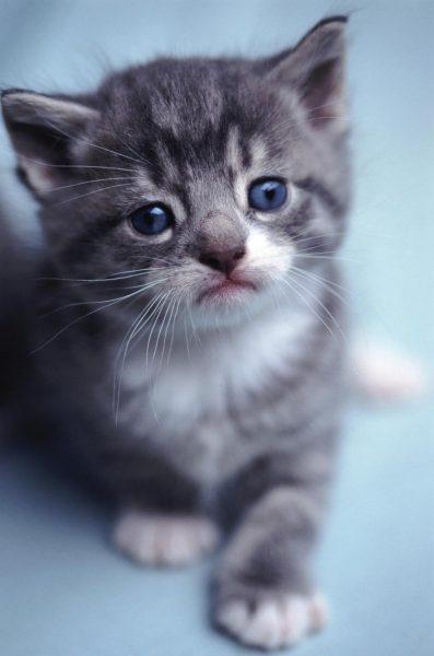 Серый котёнок