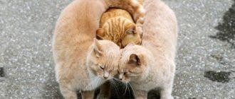 Самые спокойные и ласковые кошки