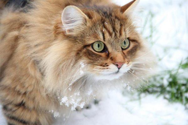 Сибирская кошка на улице