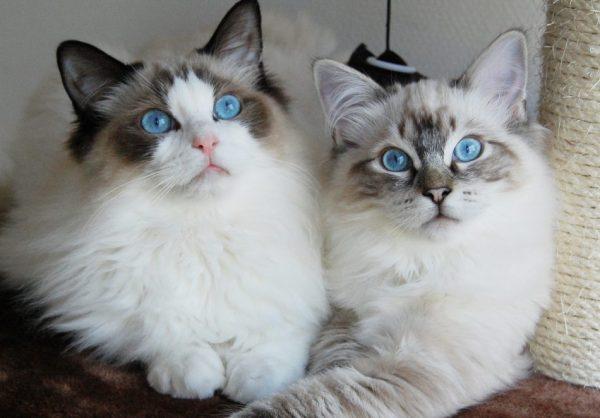 Две кошки породы рэгдолл