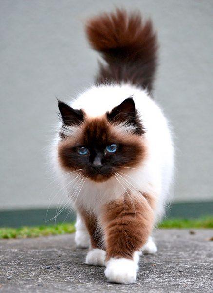 Бирманская кошка идёт