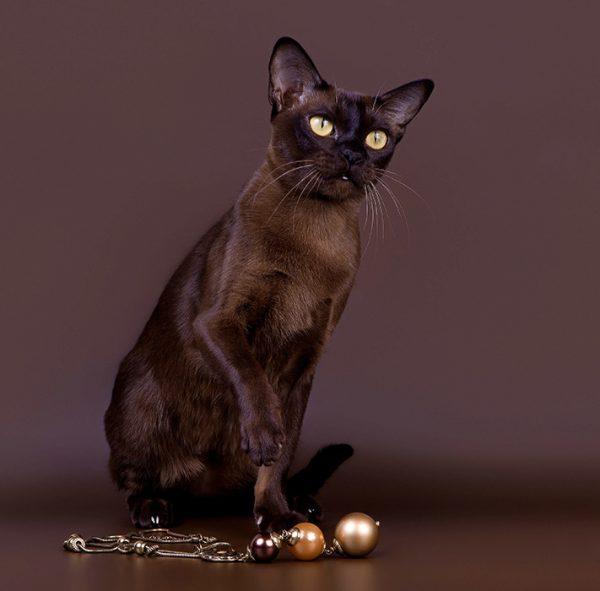 Бурманская кошка сидит