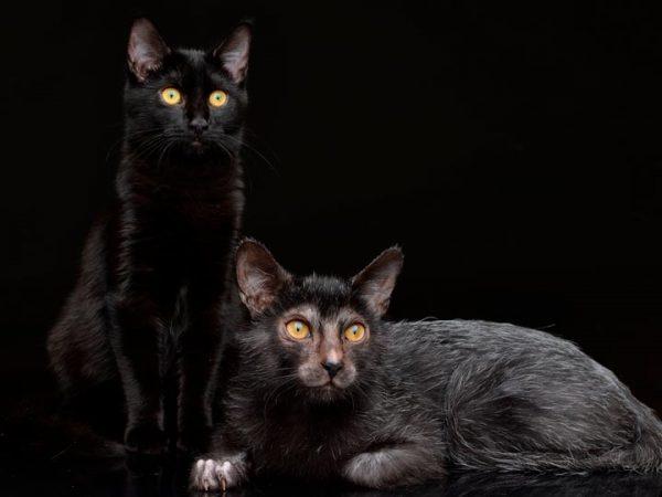 Ликой и чёрная кошка