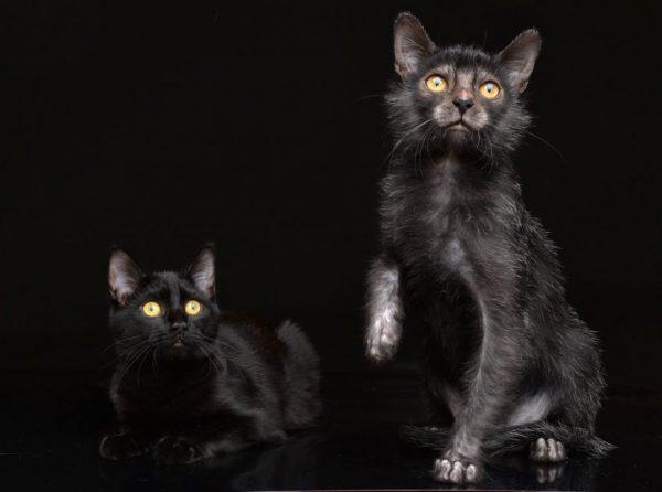 Ликой сидит рядом с чёрной кошкой