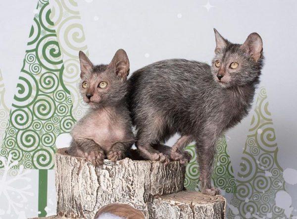Котята-ликои