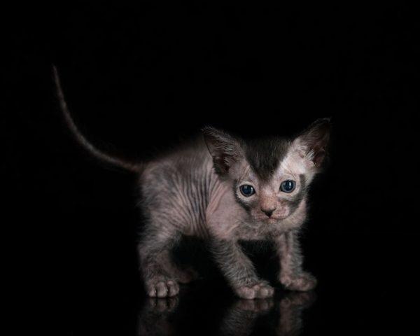 Котёнок ликоя