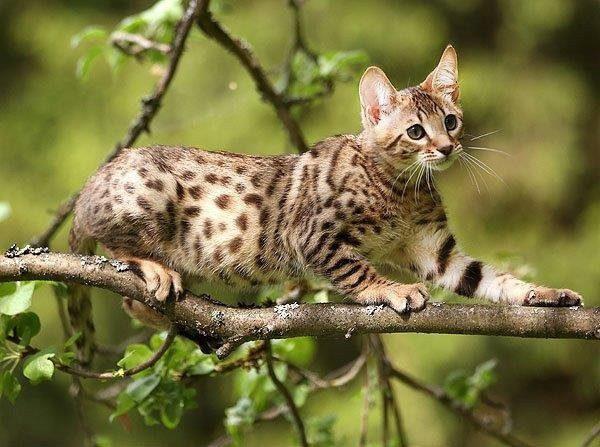 Котёнок серенгети на дереве